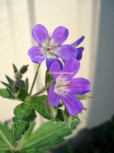 PurpleFlowerCopyrightStudioMaya-1907