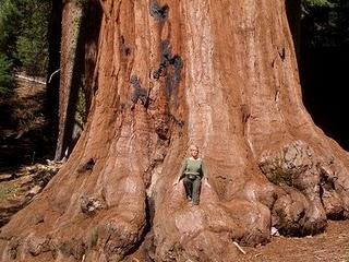 Giant Sequoia. Ett av världens största träd. Yoseminte park