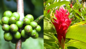 kopi luwak beans and flower