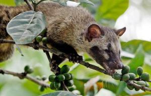 Kopi Luwak Civet