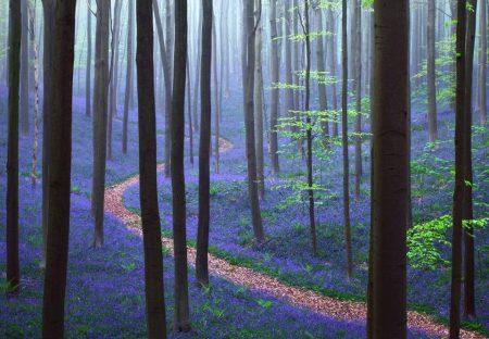 Hallerbos är en skog i Belgien