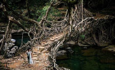 I delstaten Meghalaya i nordöstra Indien finns dessa broar gjorda av rötter.